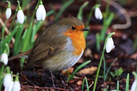 photo of a robin sitting in snowdrops