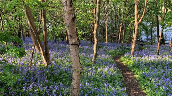 bluebells in bloom in the woods