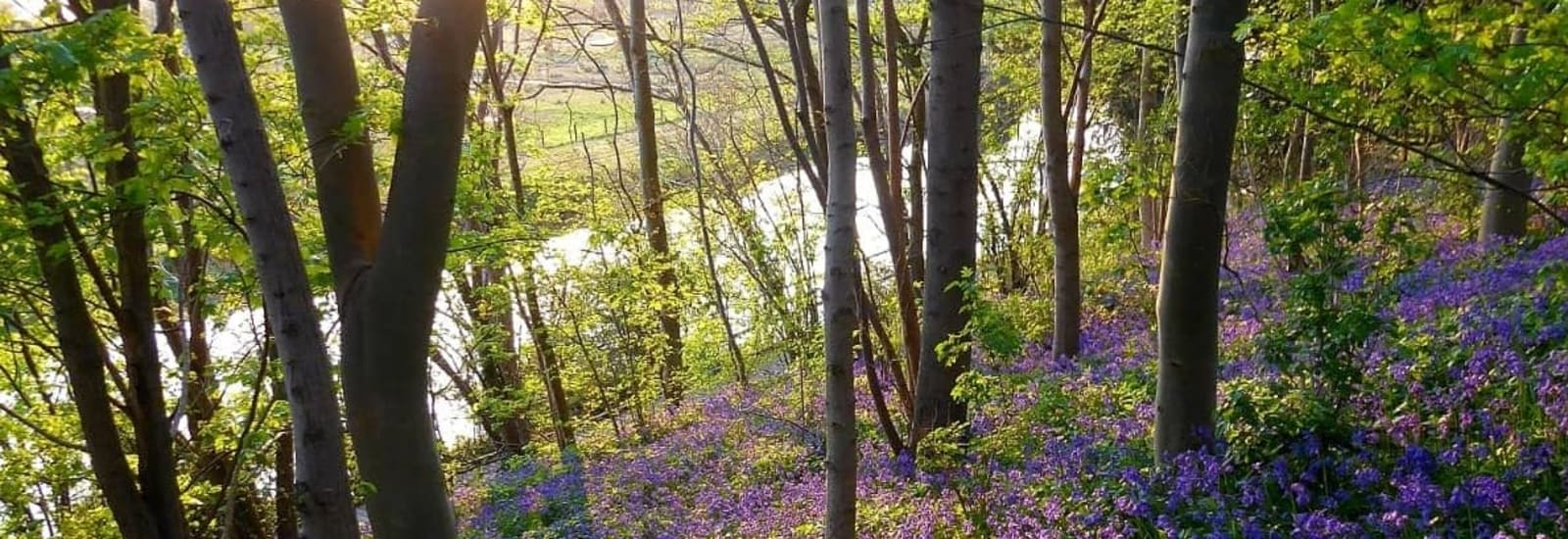 bluebells in the woods looking down into the river