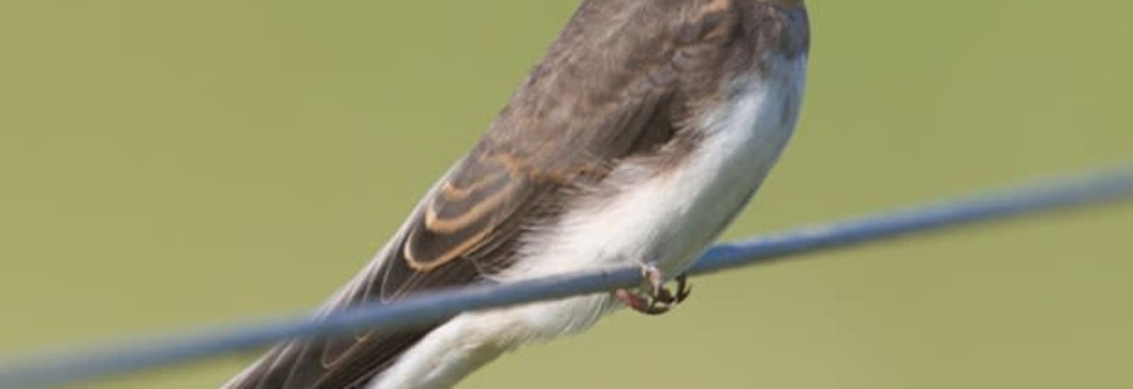 Sand Martins at Ferry Meadows